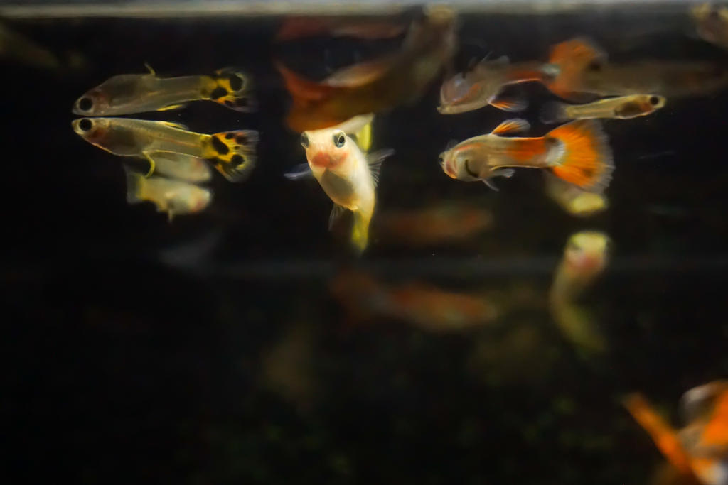 Guppies:  (New camera testing) by DavHed