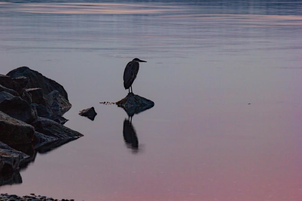 Heron at dawn by DavHed