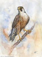 Peregrine Falcon by FrancescaBaerald