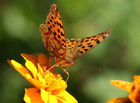 Butterfly with Dotted Eyes