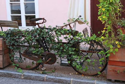Bicycle in Ivy