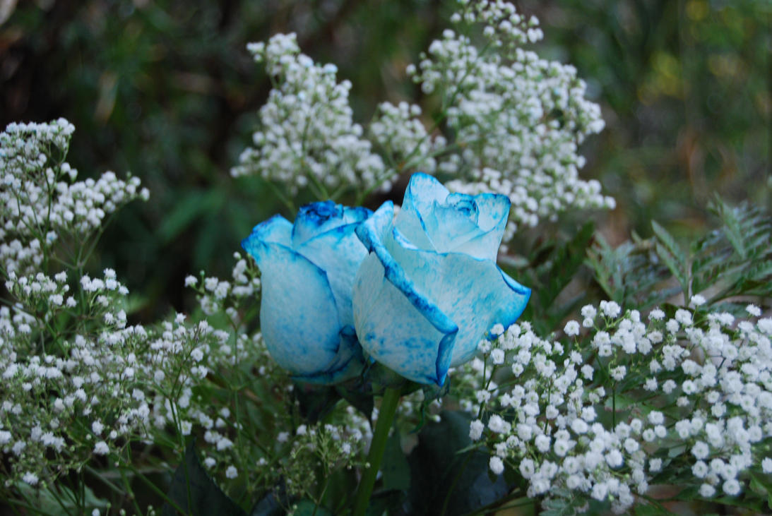 Blue Roses by AndySerrano