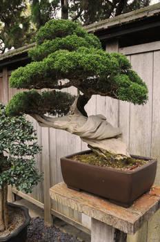 Twisted Thick Bonsai