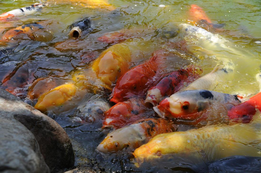 Koi feeding frenzy by andyserrano on deviantart for Koi feeding