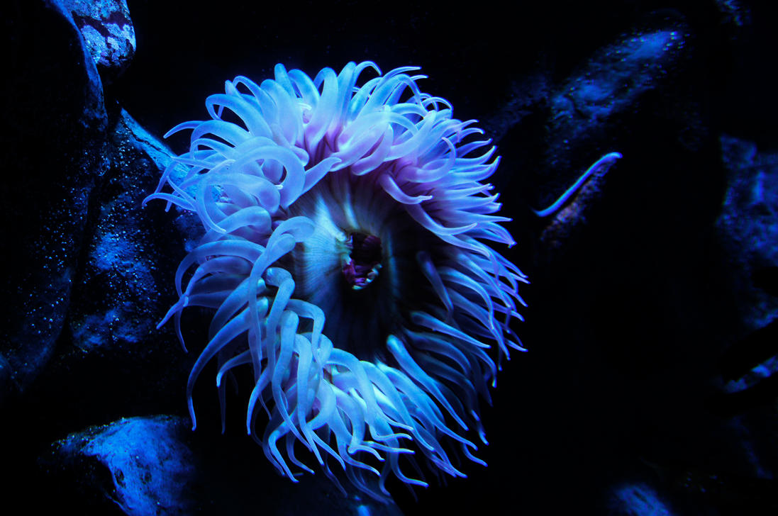 Sea Anemone by AndySerrano on DeviantArt