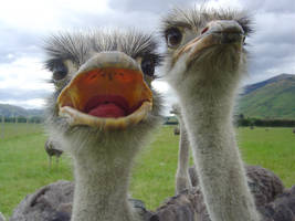 Open Mouthed Ostrich