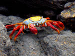 Red and Yellow Crab