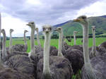New Zealand Ostriches