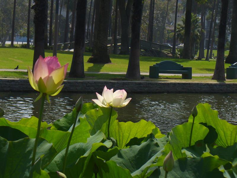 Echo Park Lotus Blossom