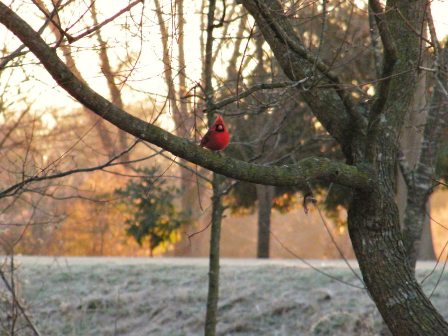 Cardinal in Mississippi. by iluvobiwan91