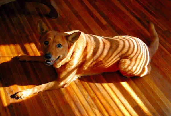 Tiger-dog by Sakonige