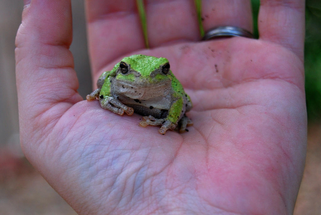 A Treefrog in the hand by Sakonige