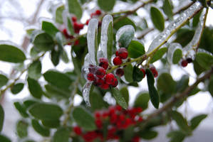Icy holly leaves and berries by Sakonige