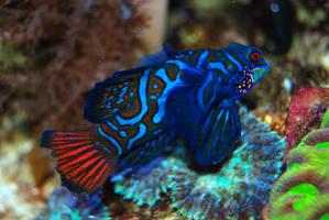 Blue striped fish by Sakonige