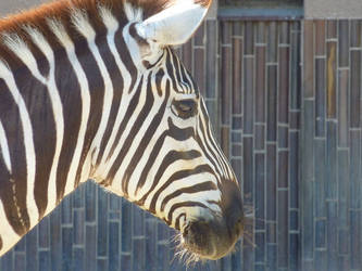 Zebra4 by EliSsHka