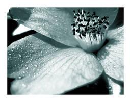 Camellia Sayonara II by Thumbshare