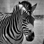 Animal Portraits Zebra 001 by Rice3