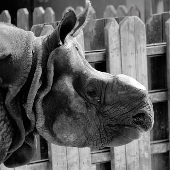 Animal Portraits - Rhino 001 by Rice3