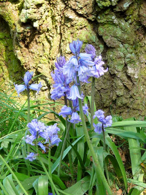 Bluebells by Rice3