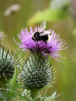 Bumbling Around The Thistles by Rice3