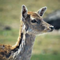 180128 - Sika Deer 01 by Rice3