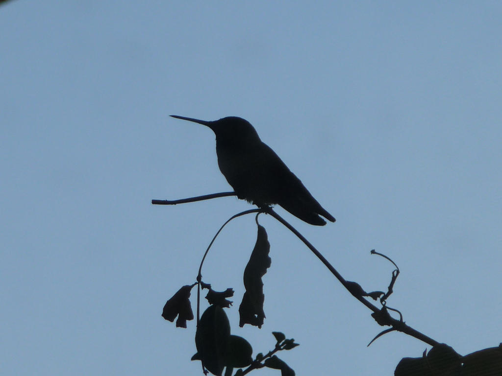 Silhouette of a Hummingbird by cr8zyxntrovrt