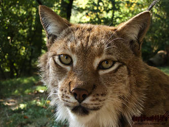 Cute Lynx by darkSoul4Life