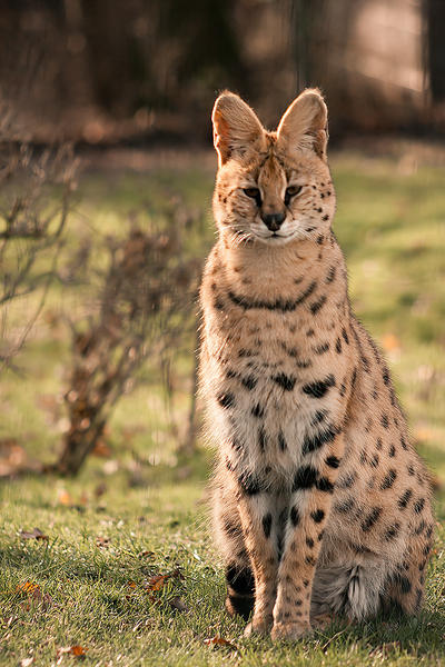 Savannah Cats For Sale In Las Vegas Nv