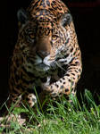 Attacking Jaguar
