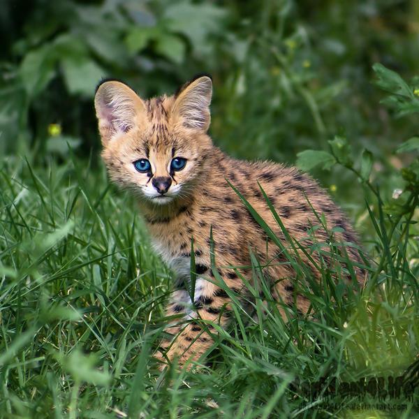 Newborn Serval by darkSoul4Life