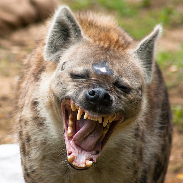 how to draw a laughing hyena