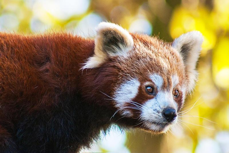 Autumn Panda by darkSoul4Life