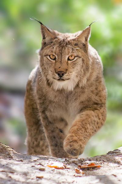 Lynx by darkSoul4Life