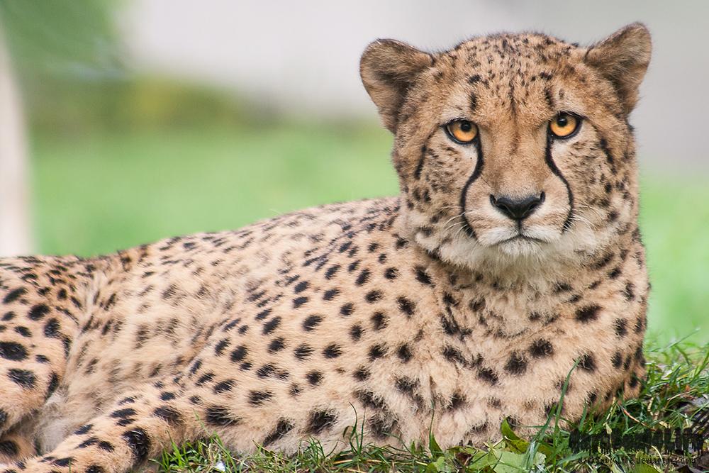 International Cheetah ...