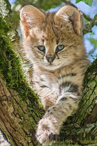 Serval Kitten by darkSoul4Life