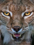 Within the eye of the Lynx