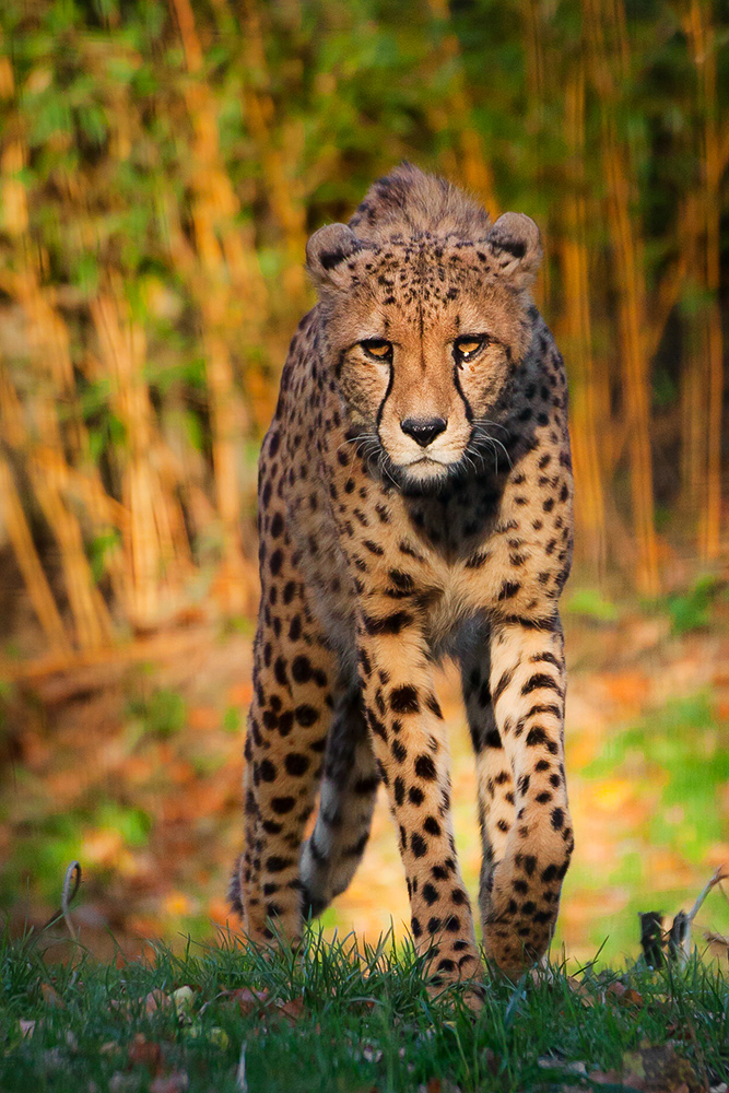 Undeviating Cheetah by darkSoul4Life