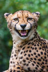 What does the Cheetah say?