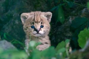 Cute Serval Kitten by darkSoul4Life