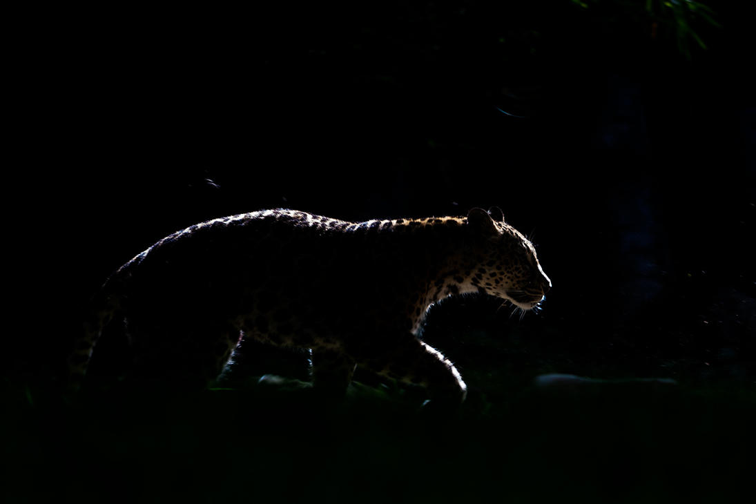 Backlit Leopard by darkSoul4Life