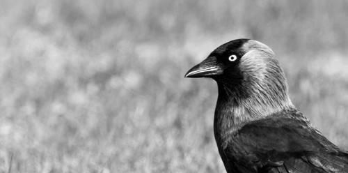 Black bird by Kyckling