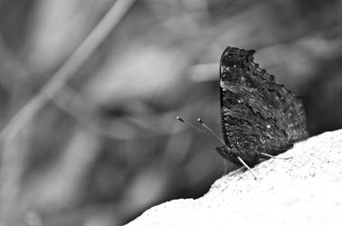 Black and white Butterfly by Kyckling