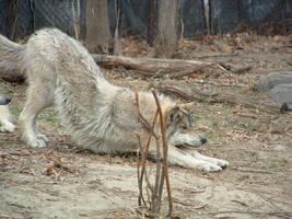 kittystock2 - wolf stretch by kittystock