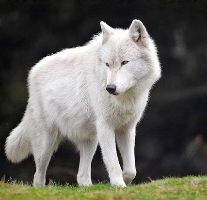 Derek Moon // Male // Blood Moon Pack Rsz_bart_male_gray_wolf_by_nightwishraven-d77gaiu