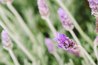 It smells like lavender