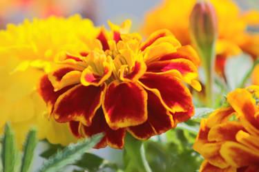 Marigolds in Bloom 4