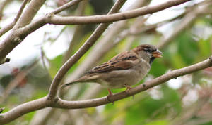Humble Sparrow 2