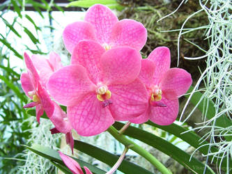 Pink Orchids by Vhazza