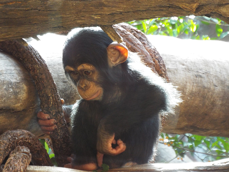 Young Chimpanzee by Vhazza