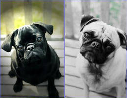 Pugs by Hatred-Indeed